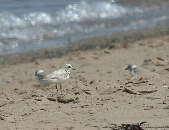 """Piping Plover is a rare breeder along the Nova Scotia coast.<div id=""""caption_tourlink"""" align=""""right"""">Link to: <a id=""""caption_tourlink"""" href=""""http://www.fieldguides.com/novascotia.htm"""" target=""""_blank"""">NEWFOUNDLAND & NOVA SCOTIA</a><br>[photo © participant Kay Niyo]</div>"""