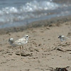 "Piping Plover is a rare breeder along the Nova Scotia coast.<div id=""caption_tourlink"" align=""right"">Link to: <a id=""caption_tourlink"" href=""http://www.fieldguides.com/novascotia.htm"" target=""_blank"">NEWFOUNDLAND & NOVA SCOTIA</a><br>[photo © participant Kay Niyo]</div>"