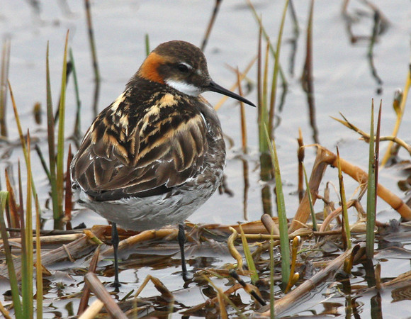 "More common and widespread species, such as this lovely Red-necked Phalarope in full dress, are also part of the joy of birding Alaska.<div id=""caption_tourlink"" align=""right"">Link to: <a id=""caption_tourlink"" href=""http://www.fieldguides.com/alaska.htm"" target=""_blank"">ALASKA</a><br>[photo © George Armistead]</div>"