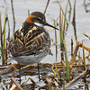 """More common and widespread species, such as this lovely Red-necked Phalarope in full dress, are also part of the joy of birding Alaska.<div id=""""caption_tourlink"""" align=""""right"""">Link to: <a id=""""caption_tourlink"""" href=""""http://www.fieldguides.com/alaska.htm"""" target=""""_blank"""">ALASKA</a><br>[photo © George Armistead]</div>"""