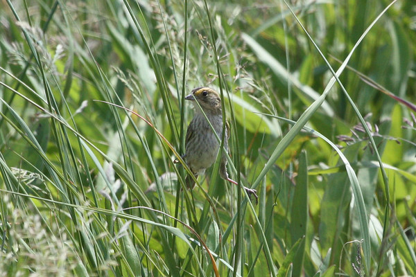 "Among landbird specialties on the tour, the Acadian form of Nelson's Sharp-tailed Sparrow provided wonderful views near Port Morian, Cape Breton Island.<div id=""caption_tourlink"" align=""right"">Link to: <a id=""caption_tourlink"" href=""http://www.fieldguides.com/novascotia.htm"" target=""_blank"">NEWFOUNDLAND & NOVA SCOTIA</a><br>[photo © Chris Benesh]</div>"