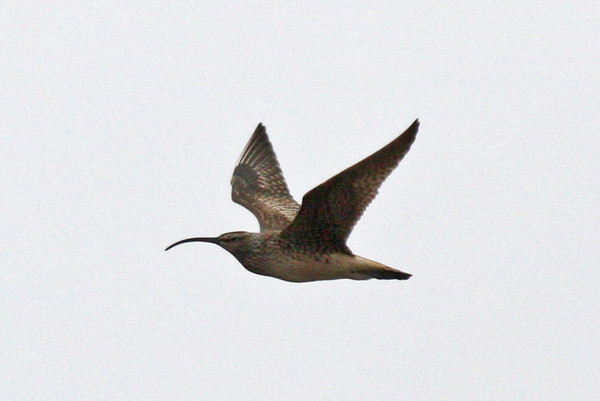 "Seldom ever easy, Bristle-thighed Curlew provided some of the usual small challenges again this year near Nome (some climbing and hiking involved, of course!), but it's such a nice reward for the effort when one flies by, calling all the way!<div id=""caption_tourlink"" align=""right"">Link to: <a id=""caption_tourlink"" href=""http://www.fieldguides.com/alaska.htm"" target=""_blank"">ALASKA</a><br>[photo © George Armistead]</div>"