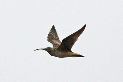 Seldom ever easy, Bristle-thighed Curlew provided some of the usual small challenges again this year near Nome (some climbing and hiking involved, of course!), but it's such a nice reward for the effort when one flies by, calling all the way!Link to: ALASKA[photo © George Armistead]