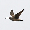 """Seldom ever easy, Bristle-thighed Curlew provided some of the usual small challenges again this year near Nome (some climbing and hiking involved, of course!), but it's such a nice reward for the effort when one flies by, calling all the way!<div id=""""caption_tourlink"""" align=""""right"""">Link to: <a id=""""caption_tourlink"""" href=""""http://www.fieldguides.com/alaska.htm"""" target=""""_blank"""">ALASKA</a><br>[photo © George Armistead]</div>"""