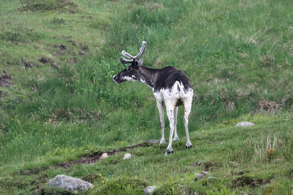 """Caribou are more evidence that Newfoundland is truly far to the north.  This piebald individual is shedding its winter coat.  Caribou are a regular sight along the southern tip of the Avalon Peninsula in Newfoundland.<div id=""""caption_tourlink"""" align=""""right"""">Link to: <a id=""""caption_tourlink"""" href=""""http://www.fieldguides.com/novascotia.htm"""" target=""""_blank"""">NEWFOUNDLAND & NOVA SCOTIA</a><br>[photo © Chris Benesh]</div>"""