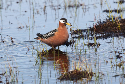 And, of course, one of the highlights of a visit to Barrow is the beautiful Red Phalarope.Link to: ALASKA[photo © Chris Benesh]