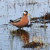 """And, of course, one of the highlights of a visit to Barrow is the beautiful Red Phalarope.<div id=""""caption_tourlink"""" align=""""right"""">Link to: <a id=""""caption_tourlink"""" href=""""http://www.fieldguides.com/alaska.htm"""" target=""""_blank"""">ALASKA</a><br>[photo © Chris Benesh]</div>"""