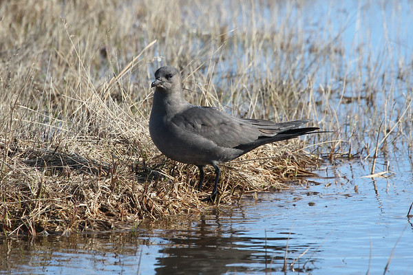 "And the sun came out for this handsome dark morph Parasitic Jaeger at Barrow...<div id=""caption_tourlink"" align=""right"">Link to: <a id=""caption_tourlink"" href=""http://www.fieldguides.com/alaska.htm"" target=""_blank"">ALASKA</a><br>[photo © Chris Benesh]</div>"