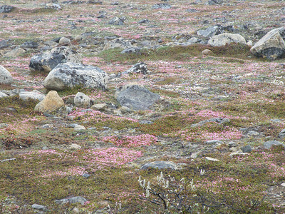 Of course, some things on a smaller scale are magnificent as well..June wildflowers bring swatches of color to the tundra.Link to: ALASKA[photo © participant Pat Newman]