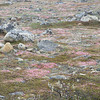 """Of course, some things on a smaller scale are magnificent as well..June wildflowers bring swatches of color to the tundra.<div id=""""caption_tourlink"""" align=""""right"""">Link to: <a id=""""caption_tourlink"""" href=""""http://www.fieldguides.com/alaska.htm"""" target=""""_blank"""">ALASKA</a><br>[photo © participant Pat Newman]</div>"""