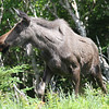 "This attractive Moose was one of several our group spotted in Newfoundland and Nova Scotia.  This one is in Cape Breton Highlands National Park.<div id=""caption_tourlink"" align=""right"">Link to: <a id=""caption_tourlink"" href=""http://www.fieldguides.com/novascotia.htm"" target=""_blank"">NEWFOUNDLAND & NOVA SCOTIA</a><br>[photo © Chris Benesh]</div>"