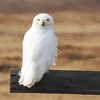 """Our groups had lots of Snowy Owls this year at Barrow. Some years they can be rather scarce, but one group found 6 nest sites on one day, and at the end of Freshwater Lake at least 11 birds in sight simultaneously. <div id=""""caption_tourlink"""" align=""""right"""">Link to: <a id=""""caption_tourlink"""" href=""""http://www.fieldguides.com/alaska.htm"""" target=""""_blank"""">ALASKA</a><br>[photo © George Armistead]</div>"""