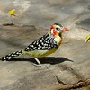 """A fabulous Red-and-yellow Barbet at Lake Baringo <div id=""""caption_tourlink"""" align=""""right""""> [Photo © participant Daphne Gemmill]</div>"""