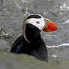 """Tufted Puffin is also part of the show on the cliffs of St Paul — alcid heaven, with a great assortment of puffins, murres, guillemots, murrelets, and auklets!<div id=""""caption_tourlink"""" align=""""right""""> [Photo © guide Dave Stejskal]</div>"""