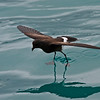 "...combining winglift and surface tension to 'walk on water' as it searches for microorganisms to eat. <div id=""caption_tourlink"" align=""right""> [Photo © guide George Armistead]</div>"