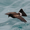 "Elliot's Storm-Petrel in the Galapagos... <div id=""caption_tourlink"" align=""right""> [Photo © guide George Armistead]</div>"