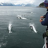 "Dall's Porpoises running with the boat on the Kenai Fjords day on Part Two of our Alaska itinerary <div id=""caption_tourlink"" align=""right""> [Photo © guide Dave Stejskal]</div>"