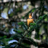 "Varied Thrush south of Anchorage, Alaska <div id=""caption_tourlink"" align=""right""> [Photo © guide Dave Stejskal]</div>"
