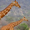 "Reticulated Giraffes at Samburu<div id=""caption_tourlink"" align=""right""> [Photo © participant Daphne Gemmill]</div>"