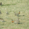 """...and here's a portion of the <b>Greater Prairie-Chicken</b> lek near Wray. <div id=""""caption_tourlink"""" align=""""right"""">[photo © participant Pat Newman]</div>"""