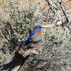 """And the birds didn't come just in shades of brown -- a <b>Western Bluebird</b> in Colorado National Monument. <div id=""""caption_tourlink"""" align=""""right"""">[photo © participant Pat Newman]</div>"""