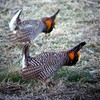 """We set a mirror in this lek to mess with the minds of <b>Greater Prairie-Chickens</b>...  (OK, so that's not really true about the mirror, but it sure looked like it when guide Dan Lane tried to fool us with this photo upon his return from the tour!)  <div id=""""caption_tourlink"""" align=""""right"""">[photo © Dan Lane]</div>"""