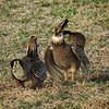 """These two <b>Greater Prairie-Chickens</b> were battling for better dancing rights the whole morning. It was quite a show! <div id=""""caption_tourlink"""" align=""""right"""">[photo © Dan Lane]</div>"""