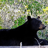 """And it wasn't just birds on land --  we also enjoyed two Black Bear sightings. This first one, spotted by Barb as we were driving along the highway, was especially confiding. <div id=""""caption_tourlink"""" align=""""right"""">[photo © George Armistead]</div>"""