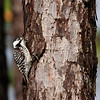 """Always a big target for folks on any North Carolina tour, the <b>Red-cockaded Woodpecker</b> was gracious enough to put in an appearance this year as well. Our new <em>Birding Plus</em> <b>North Carolina</b> itinerary focuses on pelagic seabirds (as you'll see!), but we thought we'd begin with a reminder that there are some very cool landbirds to be found during our shore time as well... <div id=""""caption_tourlink"""" align=""""right"""">[photo © George Armistead]</div>"""