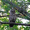 """And what's this...deja vu all over again in daytime?  Well, sort of...but we've moved to <b>North Carolina</b> this May. As guide George Armistead reported, """"this <b>Barred Owl</b> put on a real show for us. He was first spotted in the rear view mirror! It was the middle of the morning and he came flying in right overhead and then started calling. It was an incredible and thrilling experience.""""  George completely rewrote our North Carolina itinerary as part of our new <em>Birding Plus</em> tour series...read on! <div id=""""caption_tourlink"""" align=""""right"""">[photo © George Armistead]</div>"""