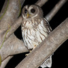"""And here's a <b>Mottled Owl</b>, also by participant Dominic Sherony, from our Western Mexico tour.  Mottled Owl is one of the most widespread species of larger Neotropical owls. <div id=""""caption_tourlink"""" align=""""right"""">[photo © participant Dominic Sherony]</div>"""