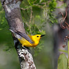 """Formerly called the Golden Swamp Warbler, the <b>Prothonotary Warbler</b> thrives in the southern swamps that we visit on the land portion of this trip. In places it is the most common species of warbler. <div id=""""caption_tourlink"""" align=""""right"""">[photo © George Armistead]</div>"""