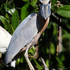 """Switching abruptly from Rockies snow to the tropics, here's a <b>Boat-billed Heron</b>, brought back from our <b>Western Mexico</b> tour by participant Dominic Sherony...what a bill when seen head on! <div id=""""caption_tourlink"""" align=""""right"""">[photo © Dominic Sherony]</div>"""