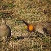 """Dan posted some great interpretations of his pics from the trip. """"Good morning, my dear...I am Count Chickenula. May I have the pleasure of this dance?""""  You gotta admit, these prairie-chickens are some pretty cool birds... <div id=""""caption_tourlink"""" align=""""right"""">[photo © Dan Lane]</div>"""