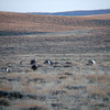 """First, let's set a couple of scenes of examples: here's daybreak at the <b>Greater Sage-Grouse</b> lek (yes, there are some early starts on this trip to get to the right spot at the right time!). <div id=""""caption_tourlink"""" align=""""right"""">[photo © Dan Lane]</div>"""