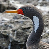 """Another Humboldt Current specialty is the Red-legged Cormorant.  Look closely, check out the eyering -- do any other birds have designer versions like this one?<div id=""""caption_tourlink"""" align=""""right"""">[photo © Alvaro Jaramillo]</div>"""