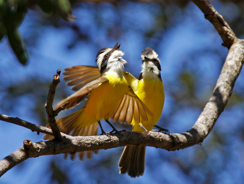 """We begin this month's selection of recent tour photos in Venezuela with a lovely pair of White-bearded Flycatchers, a regional endemic whose duets are an impressive sight to behold. This image comes from another of our <b><em> Birding Plus</em></b> series of tours combining birding and additional interests.  Guide George Armistead headed to the <a href=""""http://www.fieldguides.com/tours.html?area=tour&code=vzl"""" target=""""_blank""""><em>llanos</em> of Venezuela</a> with our group, visiting two famous wildlife ranches for a great week-plus of birding and photography.  It proved to be super-productive on both counts. <div id=""""caption_tourlink"""" align=""""right"""">[photo © George Armistead]</div>"""