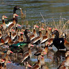 """Here's a gaggle of waterfowl at Hato Piñero (an <i>hato</i> is a large ranch) in central Venezuela including lots of Black-bellied Whistling-Ducks, three Muscovy Ducks, and a couple of White-faced Whistling-Ducks. <div id=""""caption_tourlink"""" align=""""right"""">[photo © George Armistead]</div>"""