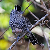 """Perhaps the most widespread antbird in the world, and one of the sharpest in appearance, is the Barred Antshrike. Here a male sits at attention with crest raised on the <em>Birding Plus - Venezuela's Llanos</em> tour. <div id=""""caption_tourlink"""" align=""""right"""">[photo © George Armistead]</div>"""