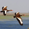 """Black-bellied Whistling-Ducks are also strikingly patterned in flight. <div id=""""caption_tourlink"""" align=""""right"""">[photo © George Armistead]</div>"""
