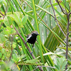"""Our group had fine views of the handsome Sincora Antwren, a relative of Rusty-backed Antwren described officially only in 1997 but a regular sighting on our tours since the mid 1990s.<div id=""""caption_tourlink"""" align=""""right"""">[photo © participant Bruce Sorrie]</div>"""