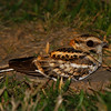 """Although our group found the widespread and common Pauraques difficult to approach for photography, White-tailed Nightjars were another matter and several birds posed nicely for us, including this male. <div id=""""caption_tourlink"""" align=""""right"""">[photo © George  Armistead]</div>"""