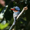 """We've got just six species of kingfishers in the New World, but not so in the Old...there is a huge diversity (roughly twelve-fold that of the New World) including some real beauties, such as this Banded Kingfisher at Khao Yai NP in Thailand.<div id=""""caption_tourlink"""" align=""""right"""">[photo © Dave Stejskal]</div>"""