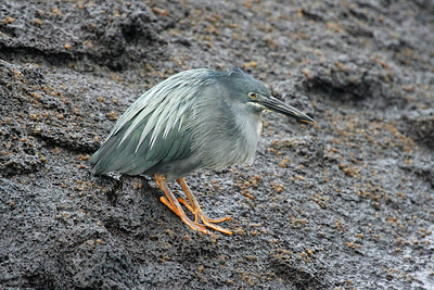 An endemic Lava Heron winds up our pix from one of our summer Galapagos tours.  We have three more scheduled for summer 2009 so you can see for yourself this amazing destination in a small group on a comfortable vessel.Link to: GALAPAGOS[photo © guide Alvaro Jaramillo]