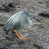 "An endemic Lava Heron winds up our pix from one of our summer Galapagos tours.  We have three more scheduled for summer 2009 so you can see for yourself this amazing destination in a small group on a comfortable vessel.<div id=""caption_tourlink"" align=""right"">Link to: <a id=""caption_tourlink"" href=""http://www.fieldguides.com/galapagos.htm"" target=""_blank"">GALAPAGOS</a><br>[photo © guide Alvaro Jaramillo]</div>"