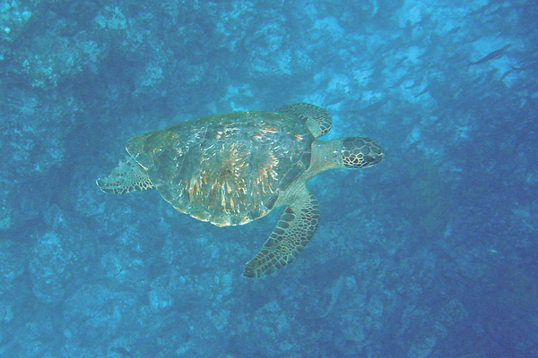 "When we're not venturing around <i>on</i> the islands, there are some fascinating things to be seen beside the boat as well -- here a Green Sea Turtle off Champion island.<div id=""caption_tourlink"" align=""right"">Link to: <a id=""caption_tourlink"" href=""http://www.fieldguides.com/galapagos.htm"" target=""_blank"">GALAPAGOS</a><br>[photo © guide Alvaro Jaramillo]</div>"