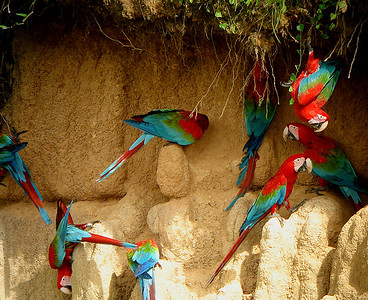 A highlight of the Manu Wildlife Center tour is a visit to the Blanquillo mineral lick, which attracts birds, and especially parrots and their relatives, from miles around.  Here a group of flashy Red-and-green Macaws have at it.Link to: MANU WILDLIFE CENTER, PERU[photo © guide John Rowlett]