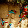 "A highlight of the <b>Manu Wildlife Center</b> tour is a visit to the Blanquillo mineral lick, which attracts birds, and especially parrots and their relatives, from miles around.  Here a group of flashy Red-and-green Macaws have at it.<div id=""caption_tourlink"" align=""right"">Link to: <a id=""caption_tourlink"" href=""http://www.fieldguides.com/perumanuwildlife.htm"" target=""_blank"">MANU WILDLIFE CENTER, PERU</a><br>[photo © guide John Rowlett]</div>"