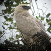 "Our summer Mountains of Manu tour backs up to our <b>Peruvian Rainforests of the Tambopata</b> trip, on which our group watched this Harpy Eagle juvenile -- a highlight seen near Infierno and photographed by participant John Collins<div id=""caption_tourlink"" align=""right"">Link to: <a id=""caption_tourlink"" href=""http://www.fieldguides.com/perurainforests.htm"" target=""_blank"">PERUVIAN RAINFORESTS OF THE TAMBOPATA</a><br>[photo © participant John Collins]</div>"