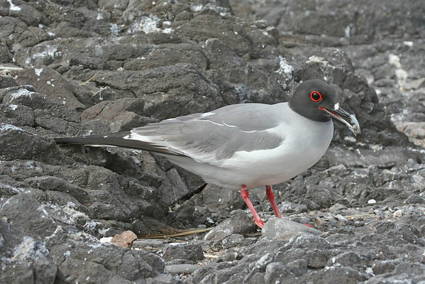 "Another handsome endemic, the Swallow-tailed Gull.<div id=""caption_tourlink"" align=""right"">Link to: <a id=""caption_tourlink"" href=""http://www.fieldguides.com/galapagos.htm"" target=""_blank"">GALAPAGOS</a><br>[photo © guide Alvaro Jaramillo]</div>"